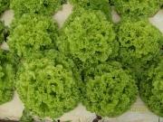 Alface SVR2005 (Crespa crocante) - (SEMINIS)