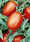 Tomate SM-16 - (SEMINIS)